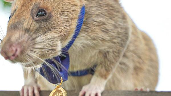 Ein Verdienstorden für eine Ratte – Das Transnational Giving Programm gratuliert